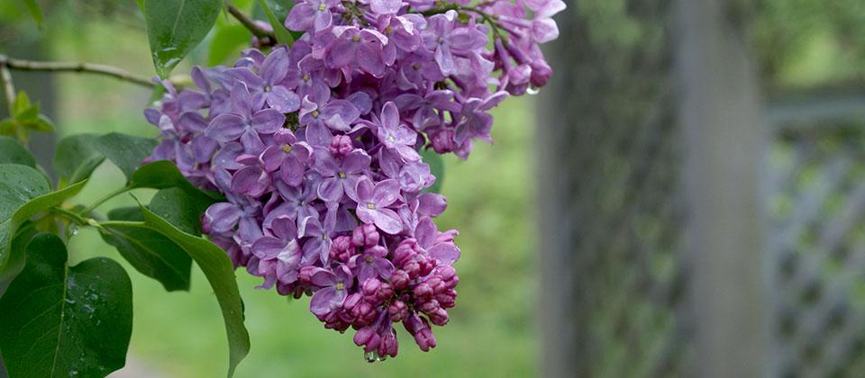 Riverview Garden Center Plants Flowering Shrubs